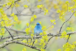 Male Mountain Bluebird in Aspens