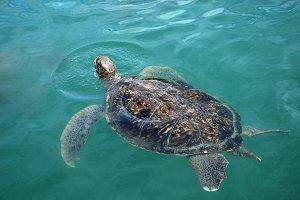 Sea turtle swims in sea water