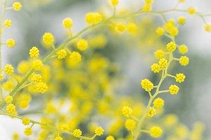 Alpine mimosa branch. Close-up