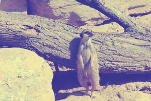 Meerkat standing around