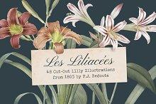 Les liliacees Flowers