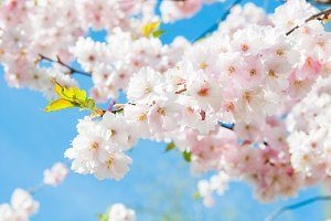 Sakura. Cherry blossoms japan.
