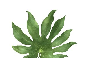 Illustration of Aralia leaf
