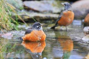 American Robins Bathing