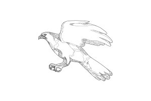 Northern Goshawk Swooping Doodle Art