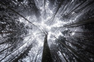 Look up in the dark winter forest