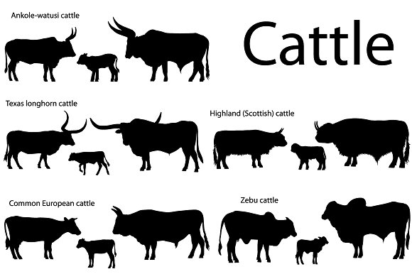 Silhouettes Of Cattle
