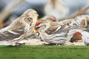 Common Redpoll Birds on Feeder