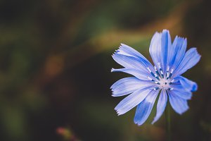 Corn Flower (Background Image)