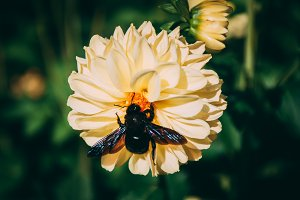 Black Bumblebee on Yellow Flower