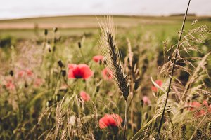 Corn Field and Wild Flowers