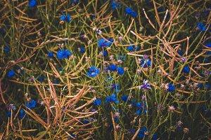 Blue Corn Flowers on Summer Field