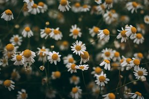 Dark Flowers on Field (Background)