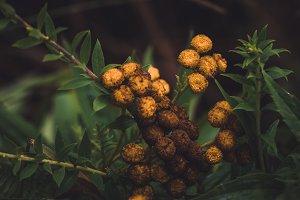 Yellow Plants before dark leaves