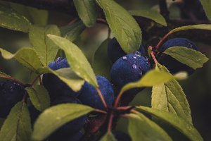 Wet Plums and Leaves