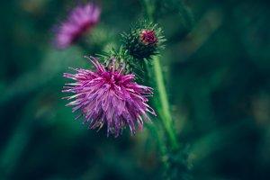 Thistle Flower and Dark Background