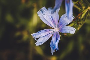 Blue Wet Flower and Dark Leaves