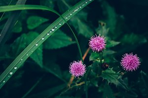 Thistle Flower and Wet Leaves