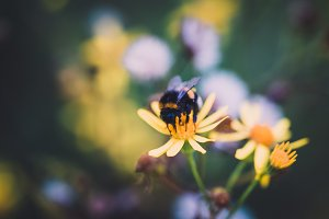 Bumblebee on Yellow Flowers