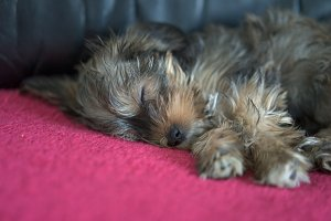 Sleeping puppy of yorkshire