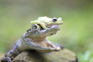 dumpy frog and crocodile
