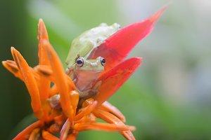 frog, dumpy frog, tree frog,
