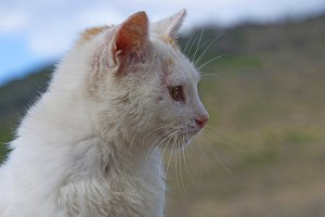 white cat's head