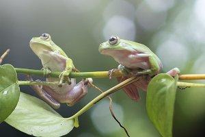 frog, dumpy frog, mammals,