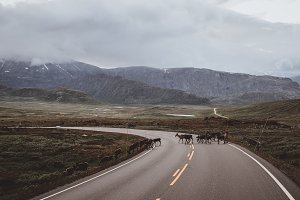 Reindeer on Mountain Road in Norway