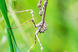 empusa pennata praying mantis