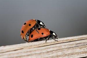 Ladyfly