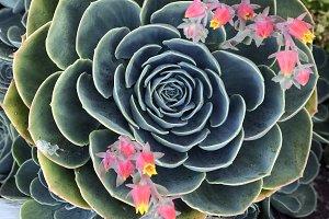 Closeup of large succulent flower