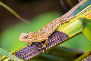 Common Garden Lizard (Sri Lanka)