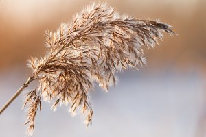 Macro shot of  a dry bulrush
