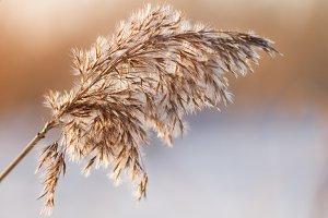 Macro shot of  a dry bulrush