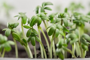 Early shoots of watercress.