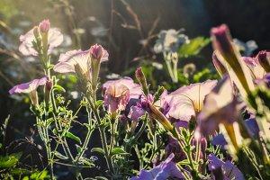 Wonderful tender pink petunias
