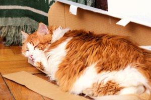 Big red cat sleeping in box