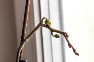 Little bud of orchid