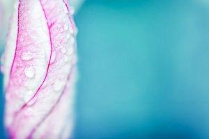 Bud of Plumeria or Frangipani flower