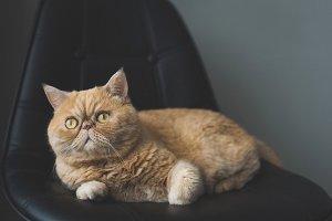 Beautiful exotic shorthair cat