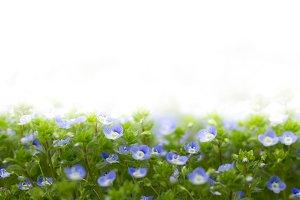 Blue flowers of Veronica