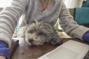 Woman with dog on lap working
