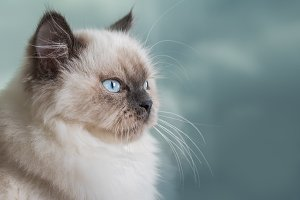 Portrait of Ragdoll young cat.