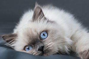 Little kitten with blue eyes.