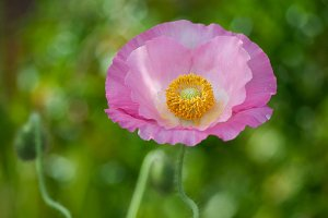 Fresh in pink! Shirley Poppy #2