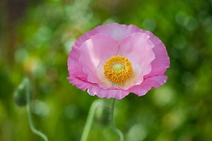 Fresh in pink! Shirley Poppy #1