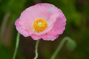 Fresh in pink! Shirley Poppy #9