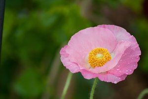 Fresh in pink! Shirley Poppy #8