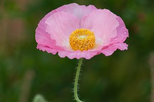 Fresh in pink! Shirley Poppy #12